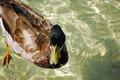 Swimming Duck - PhotoDune Item for Sale