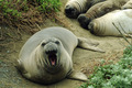 Elephant Seal - PhotoDune Item for Sale