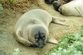 Shy Elephant Seal - PhotoDune Item for Sale