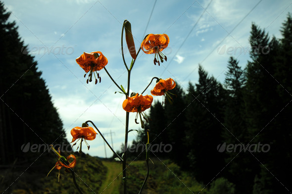 Tiger Lily - Stock Photo - Images