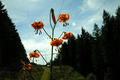 Tiger Lily - PhotoDune Item for Sale