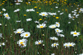 White Wild Daisies - PhotoDune Item for Sale