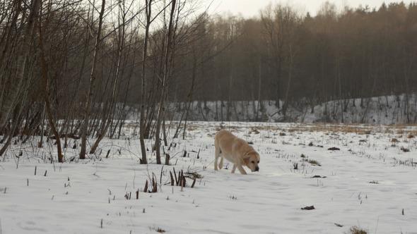 Labrador Retriever Research
