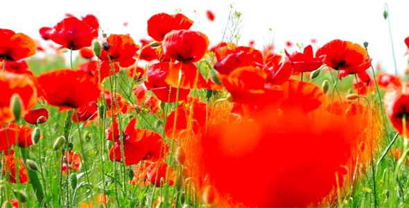 Red Poppies 15
