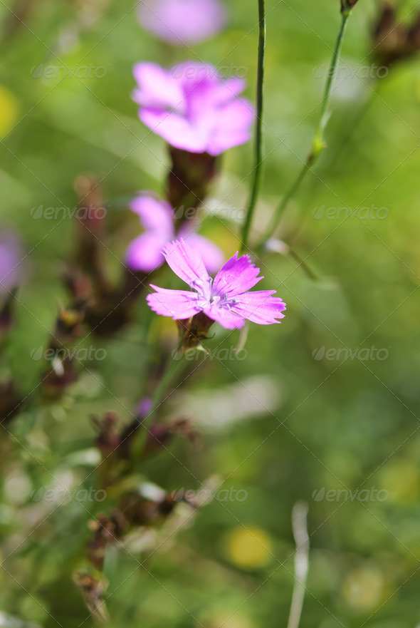 Maiden Pink  - Stock Photo - Images