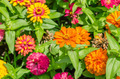 Zinnia Elegans Flowers - PhotoDune Item for Sale