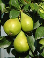 Pears on branch - PhotoDune Item for Sale