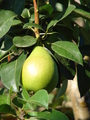 Pear on branch - PhotoDune Item for Sale