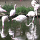 Drinking and Nesting Flamingos - VideoHive Item for Sale