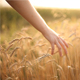 Hand On Cereal Field 2 - VideoHive Item for Sale