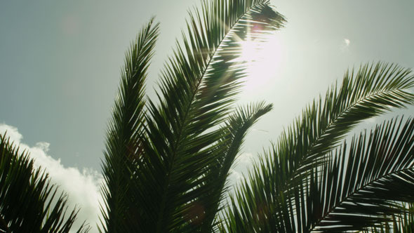 Looking to Sun through Palm Tree Leaves 2-Pack