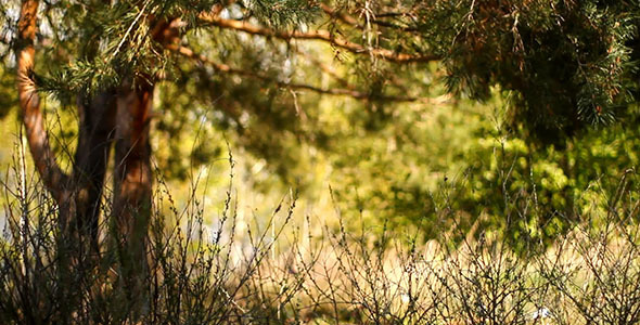 Dry Stalks In Pine Woods