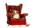 Australian Shepherd puppy, 10 months old, lying on a detroyed armchair, isolated on white - PhotoDune Item for Sale