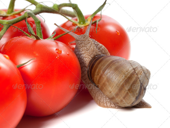 Garden snail and ripe tomato with water drop - Stock Photo - Images