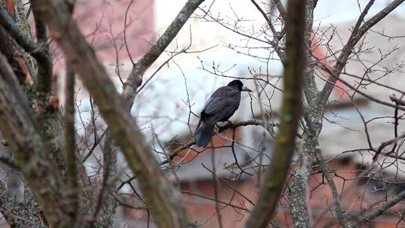 Ravens on Tree 9