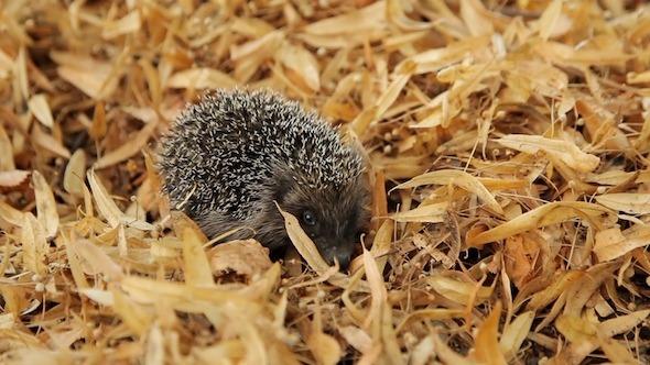 Hedgehog in the Leaves