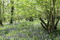 Forest Filled With Bluebells - PhotoDune Item for Sale