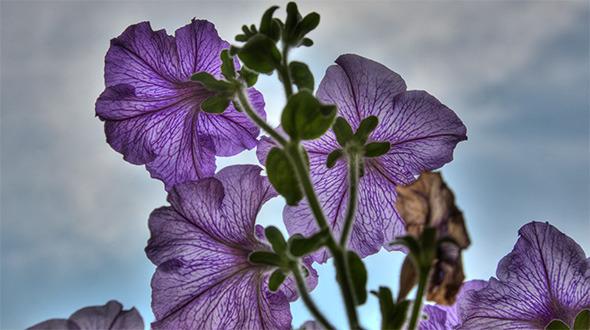 Blossom petunia HDR