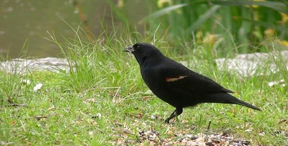 Black Bird Pack of 2