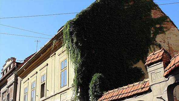 Ivy On Old House Walls