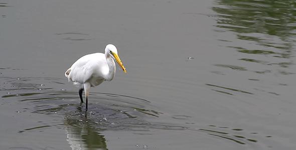 Great Egret Fishing 3