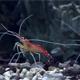 Close Up Of Shrimp In The Aquarium - VideoHive Item for Sale
