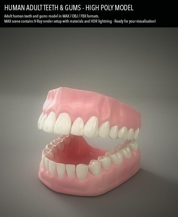 3d Model Teeth Amp Gums Human Adult