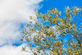 Detail of olive tree with fresh olives - PhotoDune Item for Sale