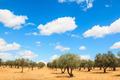Olive trees plantation landscape - PhotoDune Item for Sale