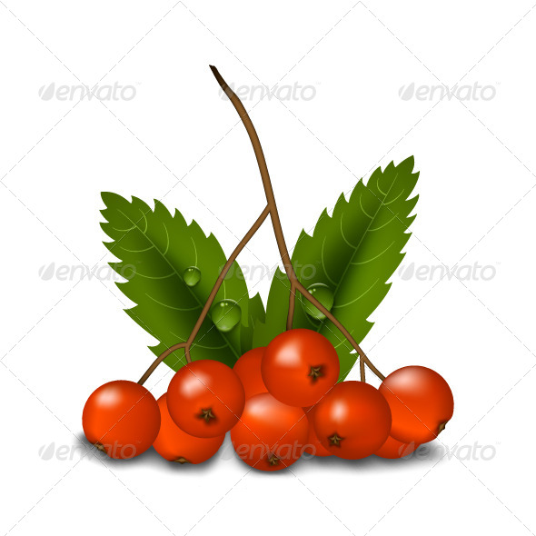 GraphicRiver Rowan Isolated 5352698