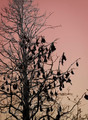 Bats - Flying Foxes hanging in a tree at dusk - PhotoDune Item for Sale