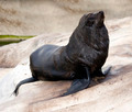 Sea lion on rock - PhotoDune Item for Sale