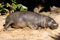 Pygmy hippo sleeping on sand - PhotoDune Item for Sale
