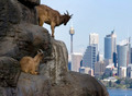 Goats against Sydney Sky - PhotoDune Item for Sale