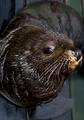 Sea Lion Face - PhotoDune Item for Sale