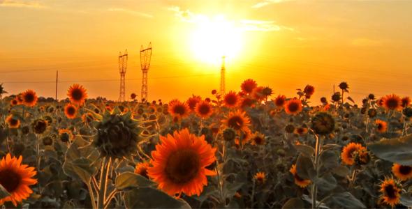Flowering Sunflowers 2