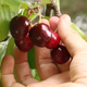 Picking Cherries 02 - VideoHive Item for Sale