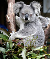 Koala and Cub - PhotoDune Item for Sale