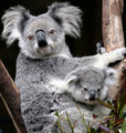 Mother and Baby Koala - PhotoDune Item for Sale