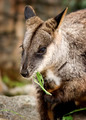Wallaby eating foliage - PhotoDune Item for Sale