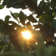 The Sun Behind the Foliage of a Tree - VideoHive Item for Sale
