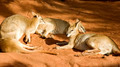 Group of Kangaroos Lying Down - PhotoDune Item for Sale