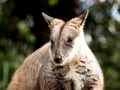 Wallaby Face - PhotoDune Item for Sale