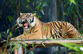 Yawning Tiger - Sitting - PhotoDune Item for Sale
