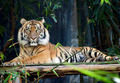 Tiger - Seated and Looking at Camera - PhotoDune Item for Sale