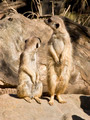 Two Meerkats Looking Away - PhotoDune Item for Sale
