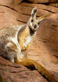 Wallaby Seated on Rock - PhotoDune Item for Sale
