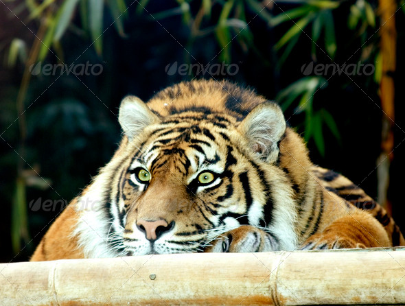 Bored Tiger - Stock Photo - Images