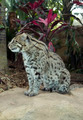 Australian Wild Fishing Cat - PhotoDune Item for Sale
