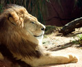 Lion Portrait - PhotoDune Item for Sale